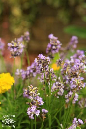 Thumbelina-Lavender